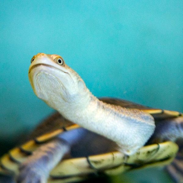 Dio , Turtle